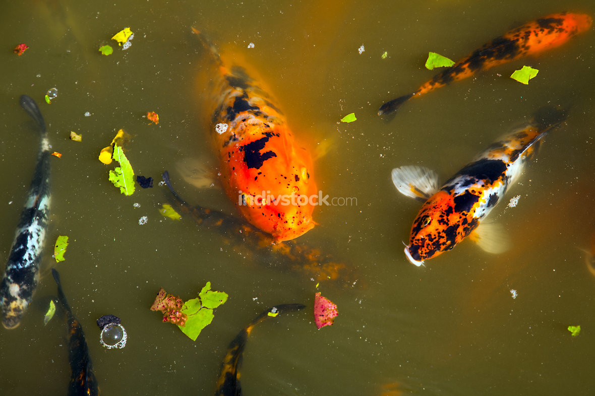 Koi in the Shoyoen Garden in Dubbo New Soth Wales Australia