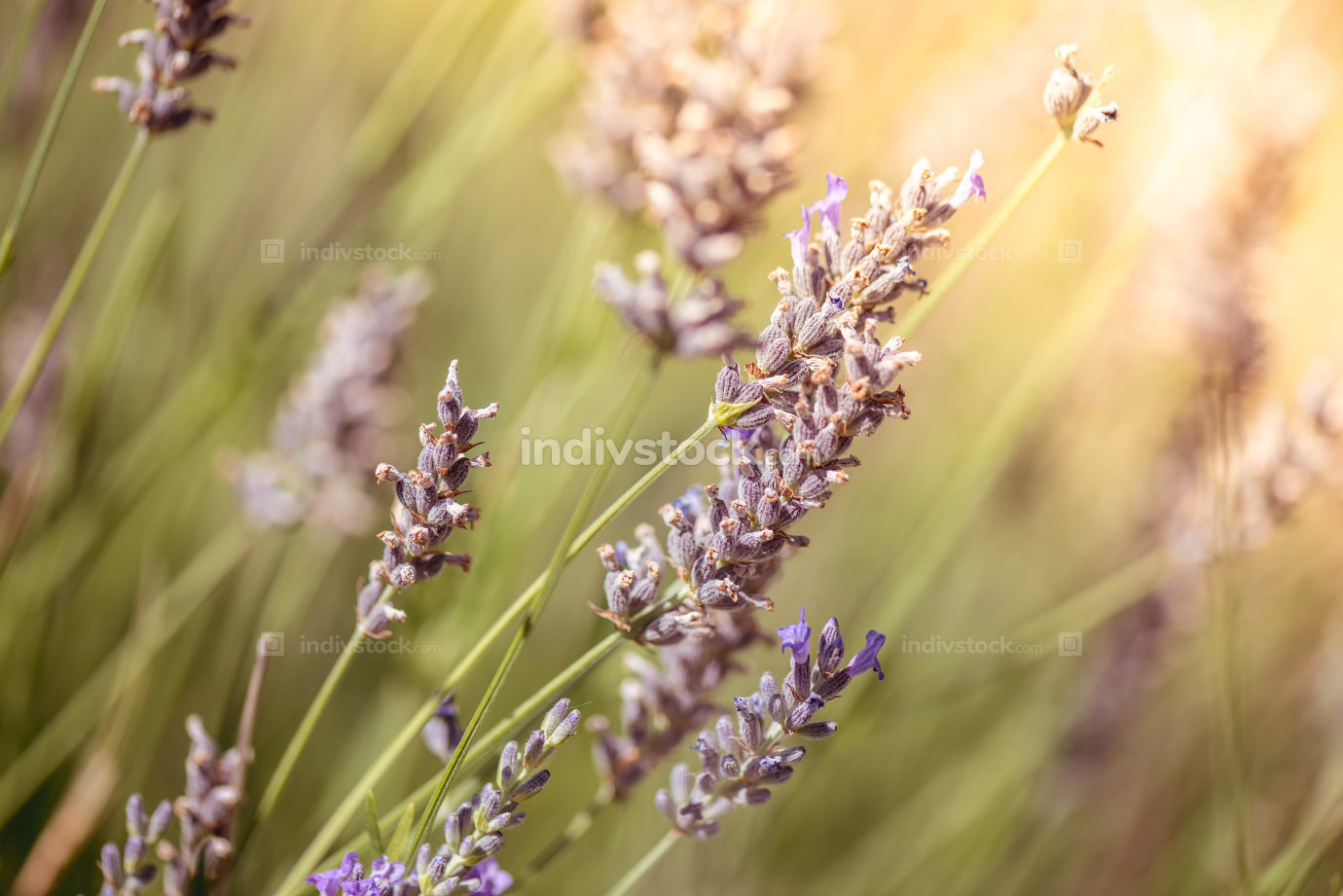 Lavender Flowers. Macro close-up. Color tone tuned