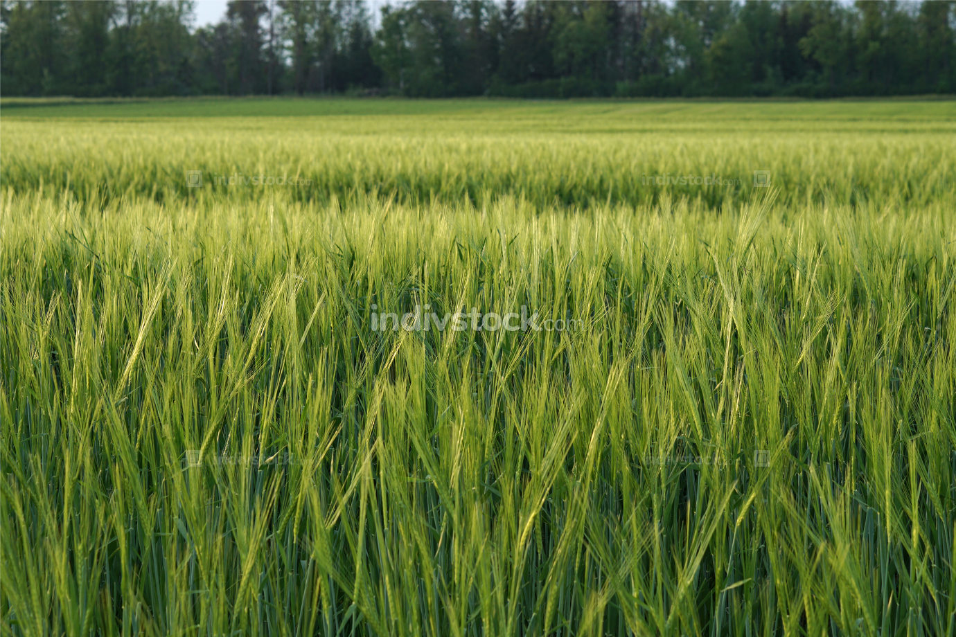 light green grain farm land naturally