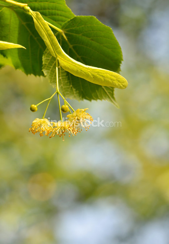 Linden blossoms at tree