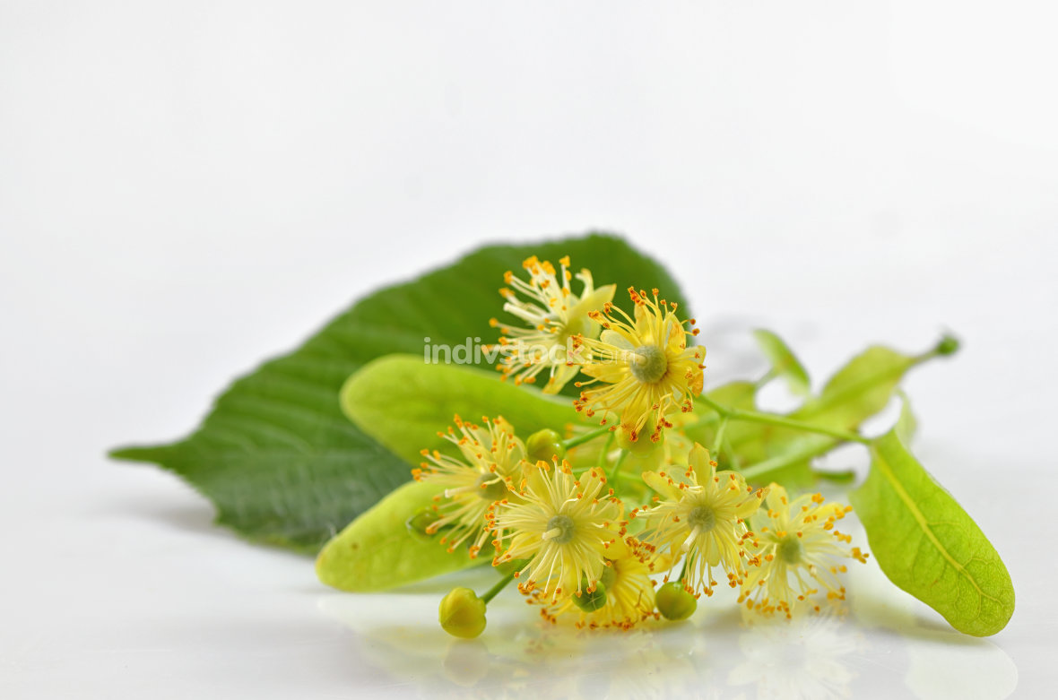 Linden blossoms flowers