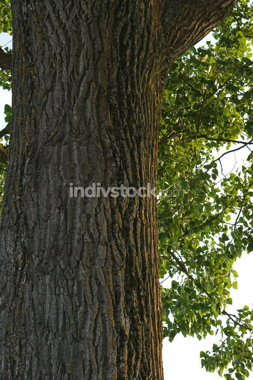 old big wide tree trunk with green leaves