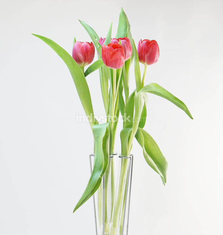 red tulips in glass tubes