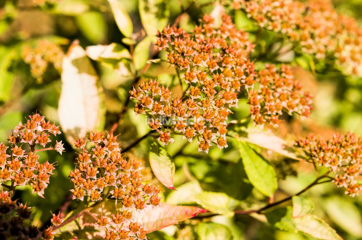 Spiraea Japonica Fruits
