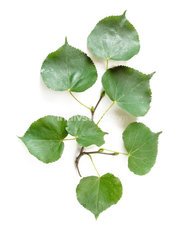 Tilia Leaves