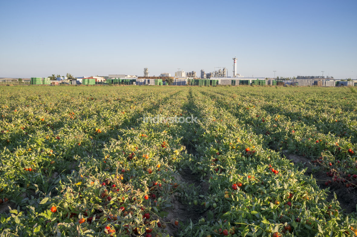 Tomatoes plantation furrows with tomato factory at bottom