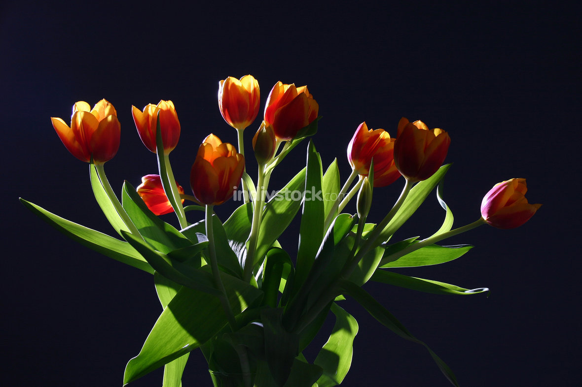 Tulips in studio