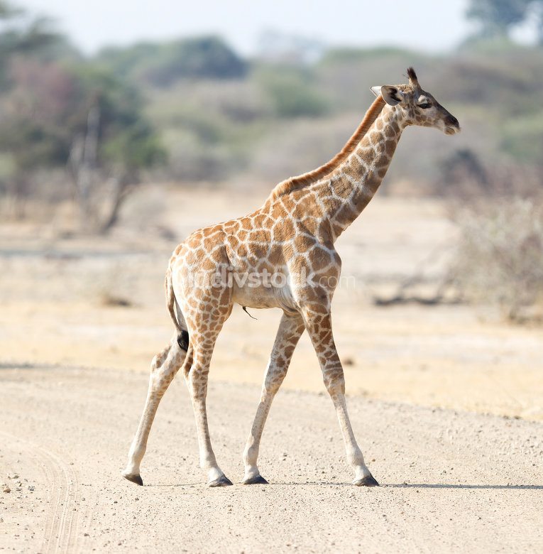 Young giraffe in Namibia