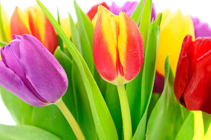 Beautiful and colorful tulips