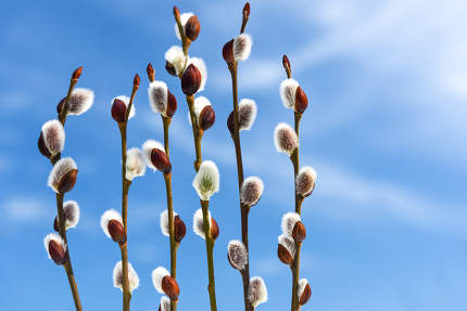 pussy willow buds with blue sky