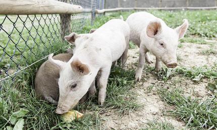 Small pigs on a farm