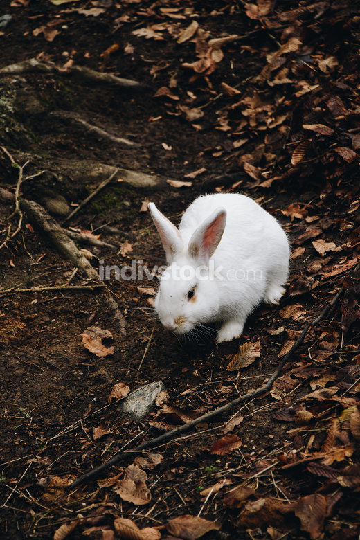 A cute white rabbit walking in the field