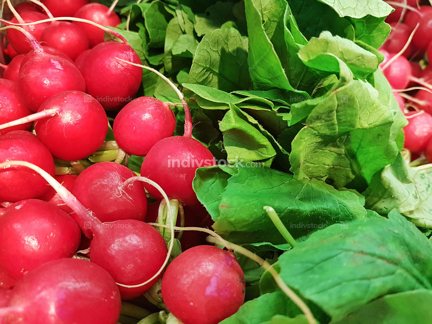 Bunches of fresh radishes