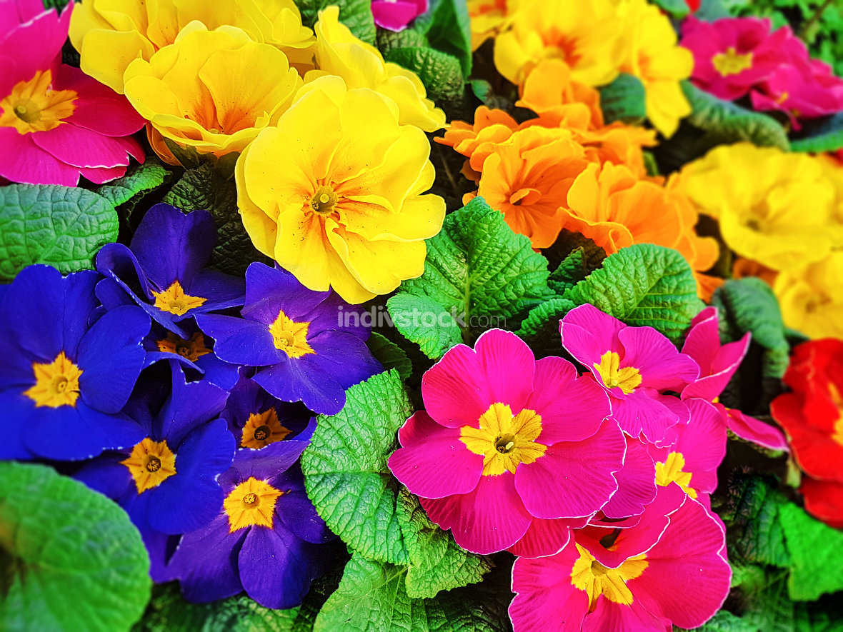 Colorful pansy flowers