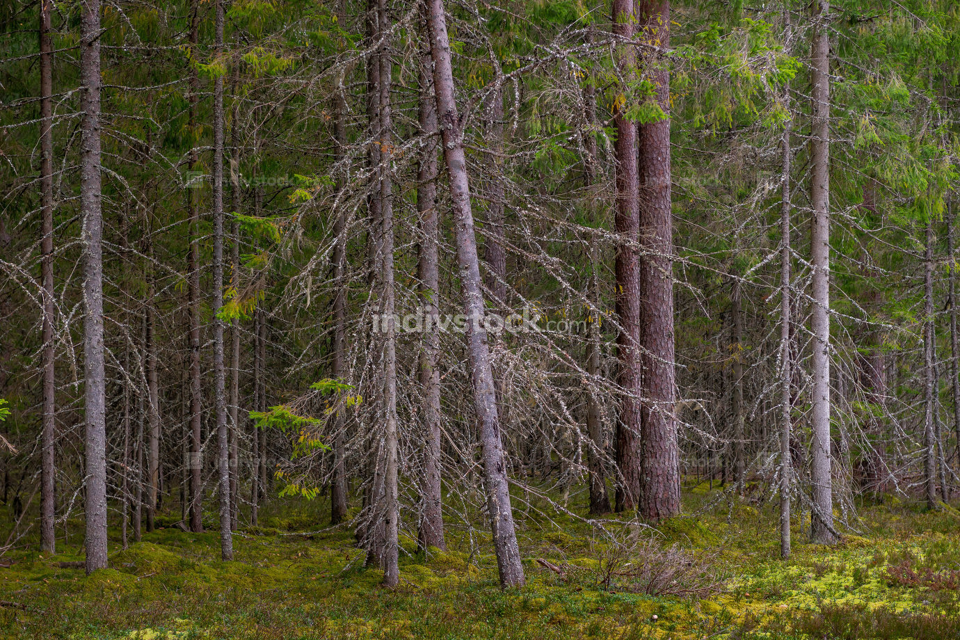 Coniferous forest. Spruce and pine trees.