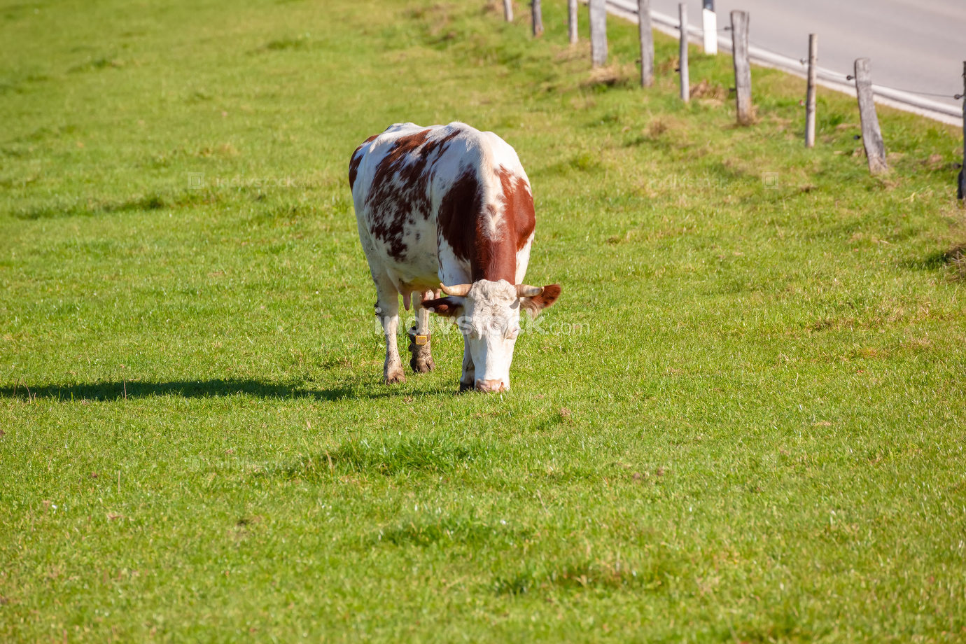 cow in the green grass
