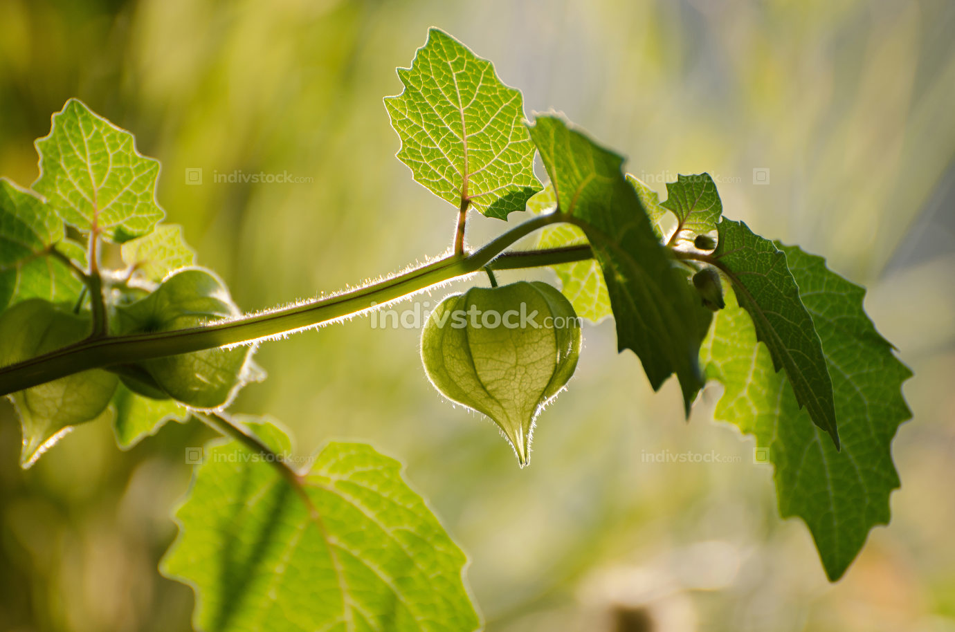 Green physalis on branch as background.