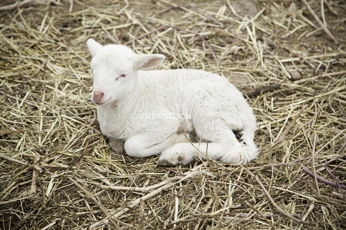 Lamb on a farm