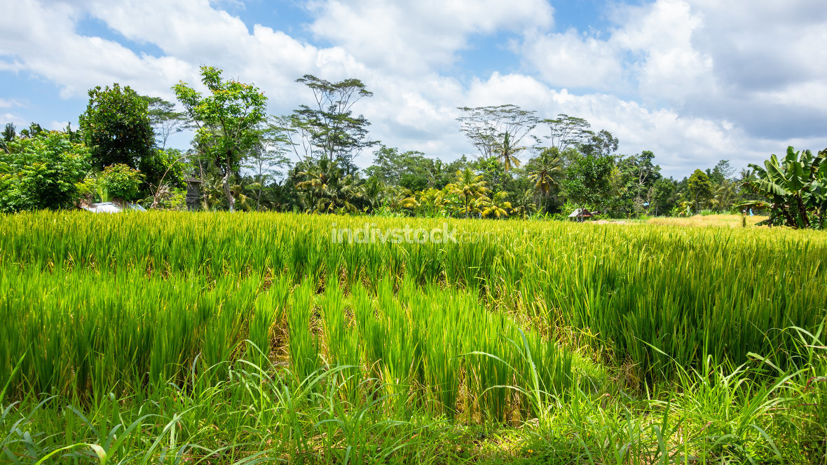 Lush green rice field or paddy in Bali