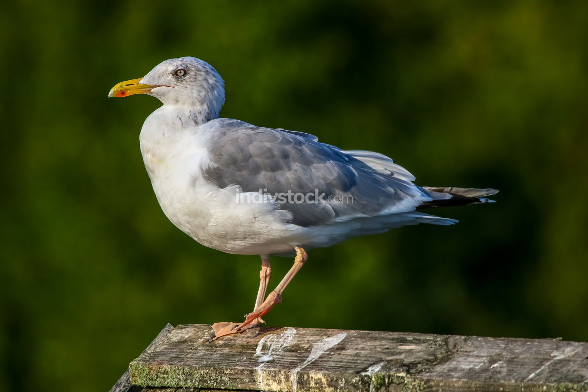 Seagull standing against natural green background.