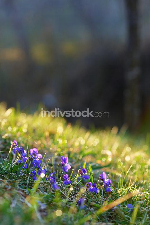 Spring wild flowers violets
