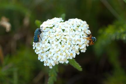 bug on a common yarrow flowers