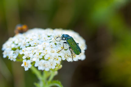 bug on a common yarrow flowers