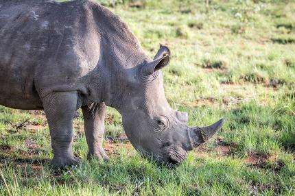 Close up of a White rhino grazing.