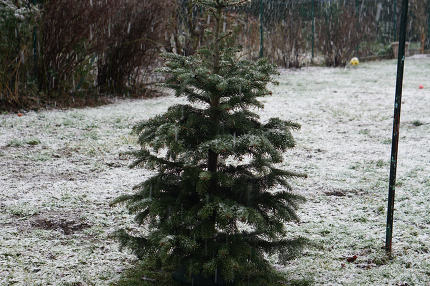 free download: christmas tree in the garden after christmas
