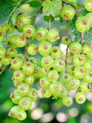 gooseberry growing in spring, berry fruits