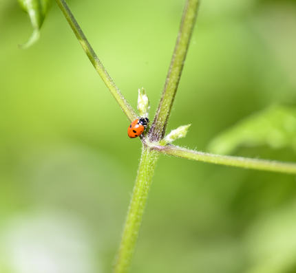 Ladybug in the green plant . bugs and insects world. Nature in spring concept.