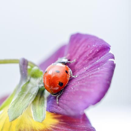 Ladybug on a violae flower.
