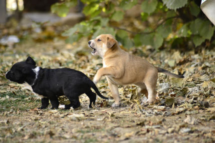 mixed breed puppies playing outdoors .