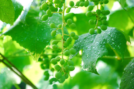 Ripening white grapes with drops of water after rain in garden. Green grapes growing on the grape vines. Agricultural background im age
