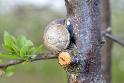Snail shell on the plum tree in the garden