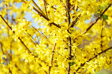 Spring bloom forsythia