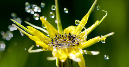 waterdrops on a yellow flower ,morning shot,image