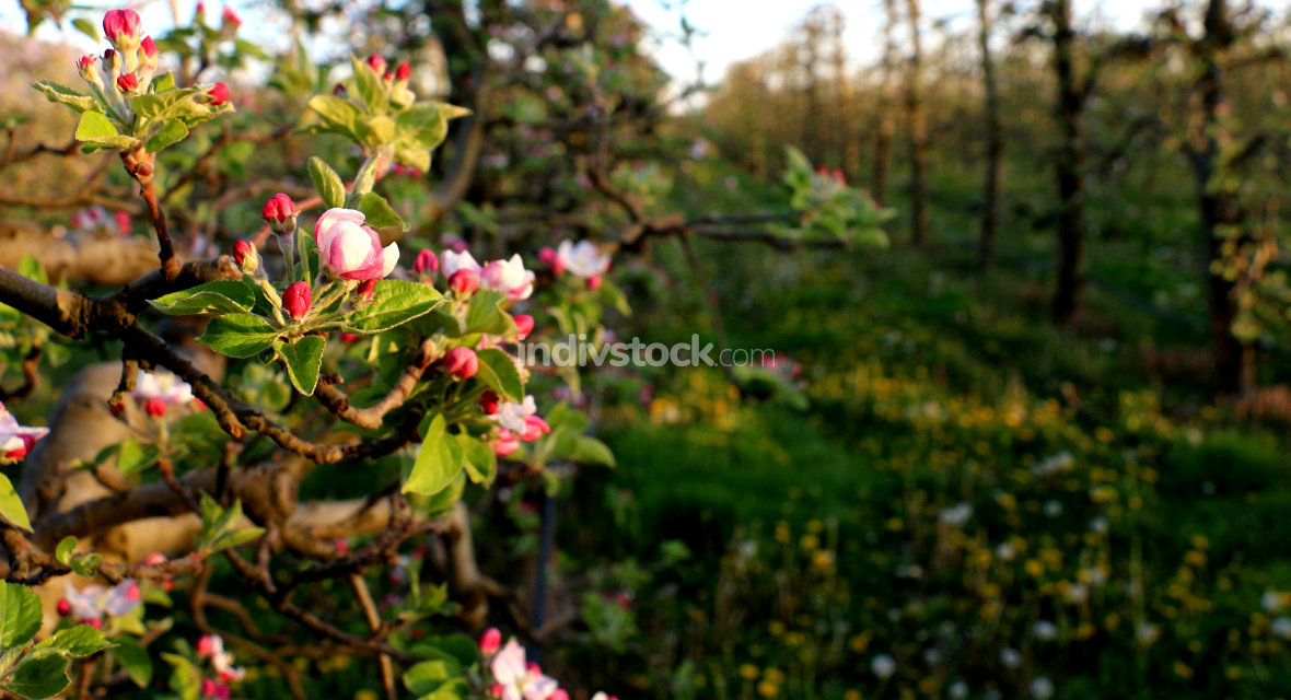 pink apple blossoms in april