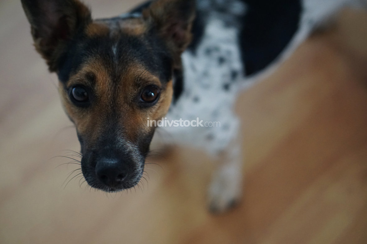 a cute small dog is looking up. Jack Russel 1 year old