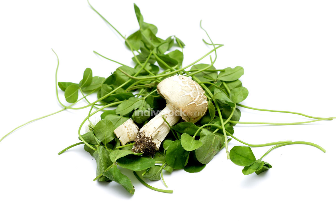 Agrocybe praecox, Spring Fieldcap mushroom