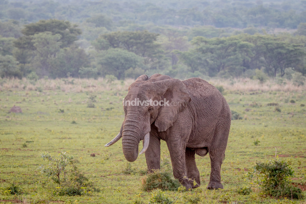 Big male Elephant walking in the grass.