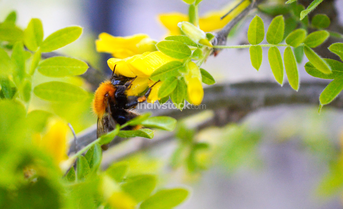 bumble bee collecting pollen on a flower