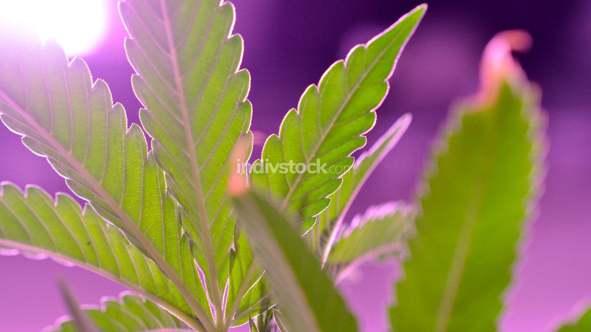 Cannabis , Marijuana plant growing indoor