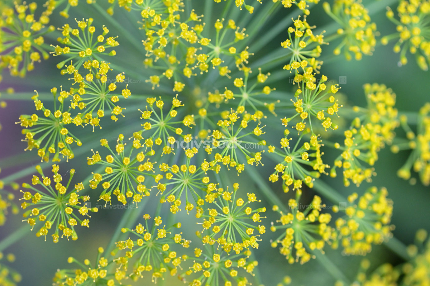 Close Blooming Dill Flowers