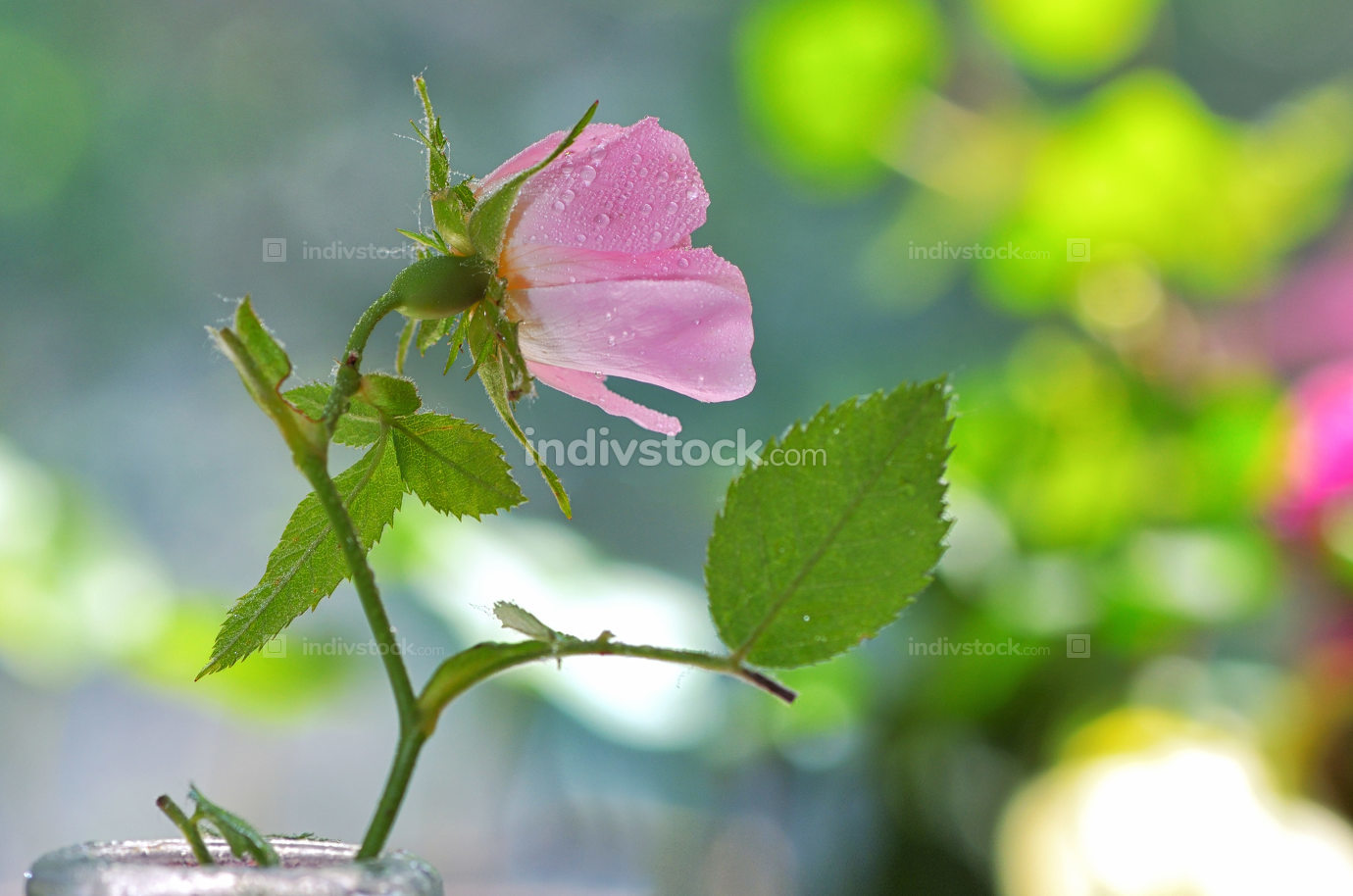 Close-up of a dog rose, Rosa canina