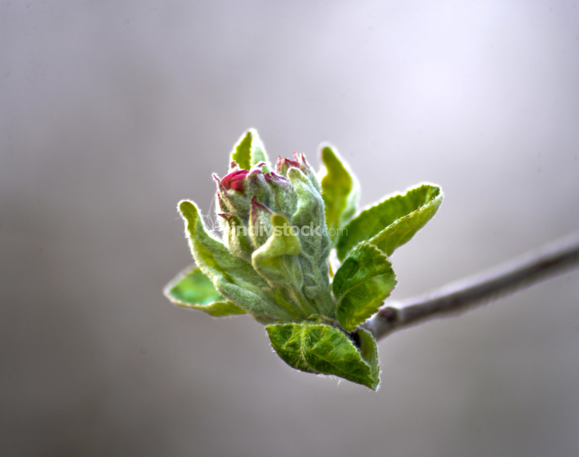 cropped picture of an apple buds in spring