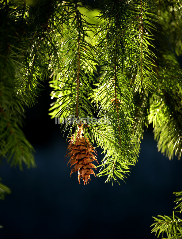 evergreen tree branches with cone