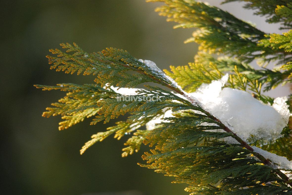 frost on a coniferous tree twig