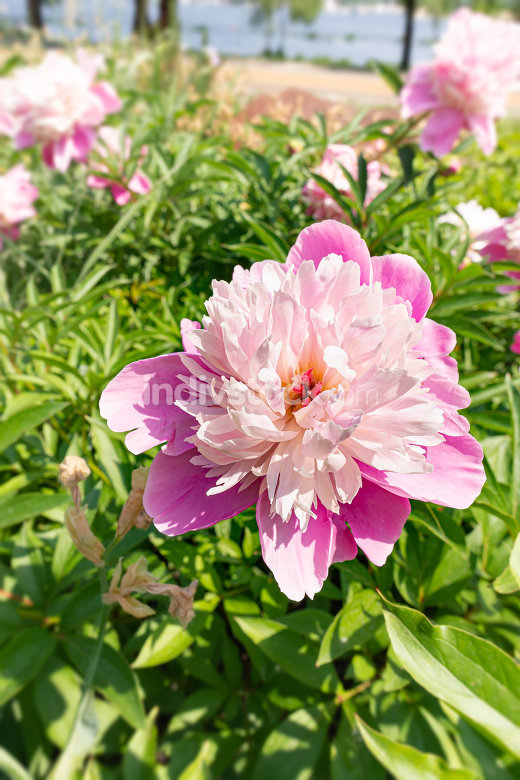 Pink peony, or paeony in the Park