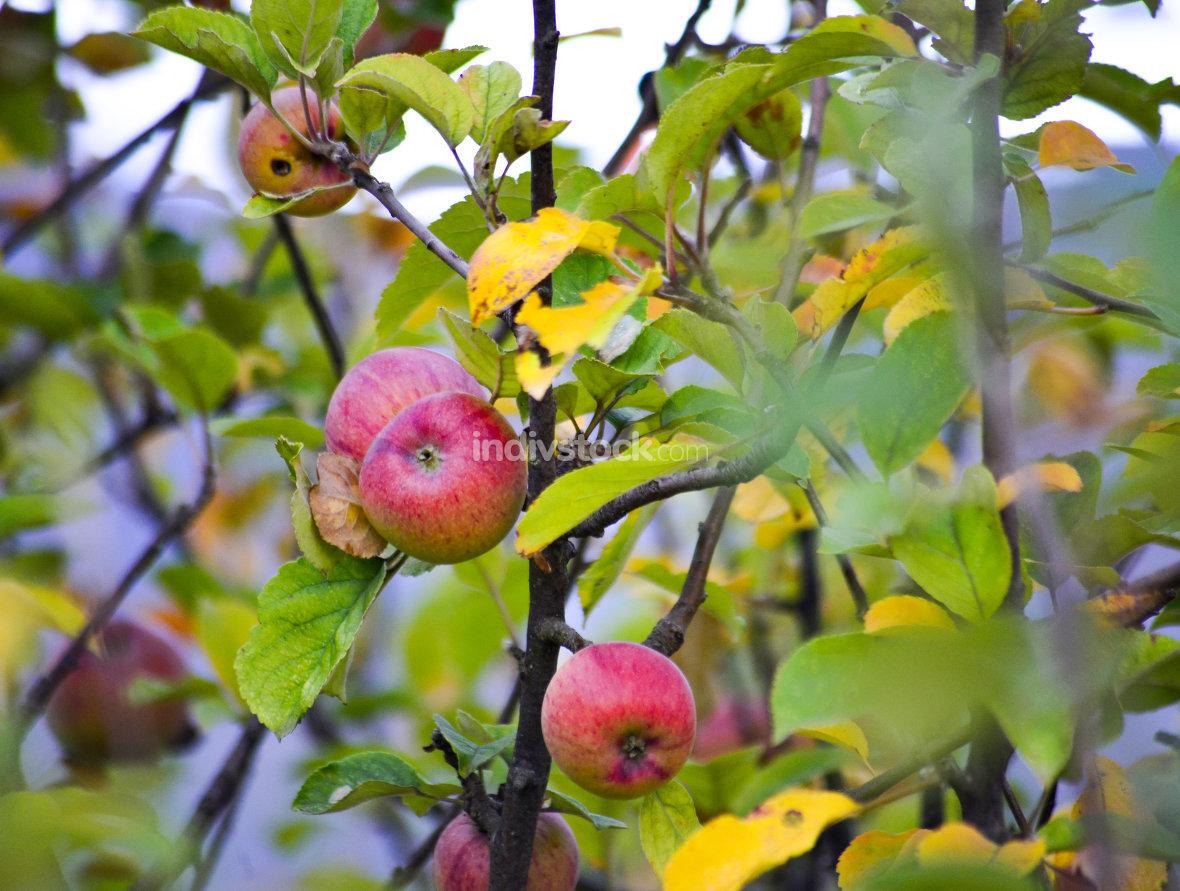 ripe apples ready for harvesting,